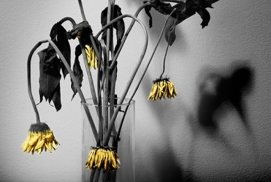 wilted
